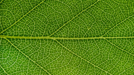 Green leaf for background, close-up of leaves, macro photography, texture, background, birch-tree leaf Zdjęcie Seryjne