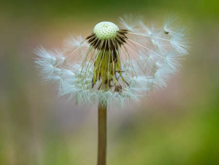 Gray dandelion, gray ow-thistle flower, half empty half full, on meadow background, perfect for background, green, close-up for a seeds, macro photography, texture 免版税图像