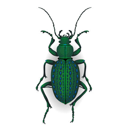 carabid: big green beetle Insect isolated on the white background. Illustration