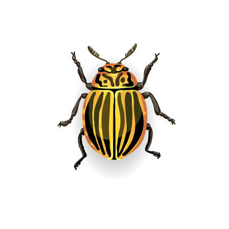 Colorado potato beetle. Colorful vector drawing of small striped beetle. Insect isolated on the white background. Illustration