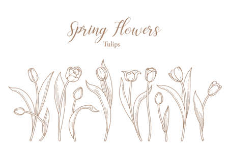 Vector line art set of blooming spring flowers. Tulip flower line art. Symbol for Womens Day, Mothers Day. Isolated tulips on white background. Design linear artwork element. Springtime