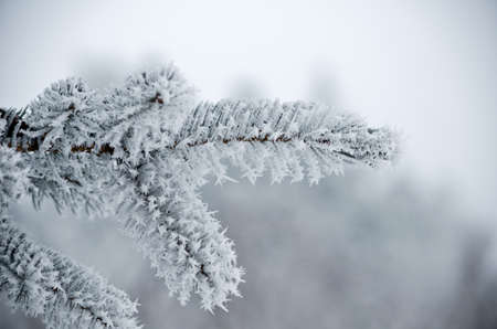 snow on the branch of a pine