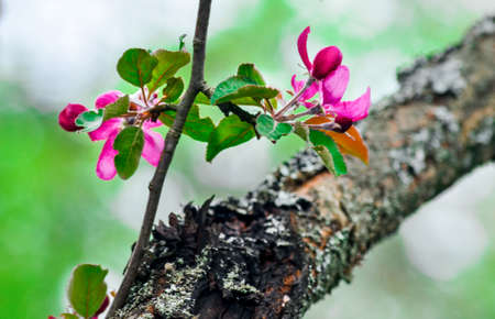 pink blossom in springtime