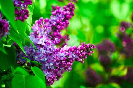 lilac flower close up Фото со стока