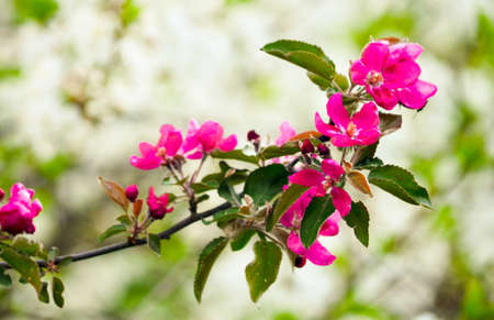 Pink flowers blooming on branch, springtime