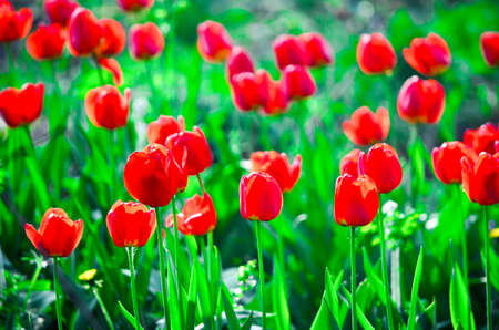 colourful picture of red tulip field in sunlight