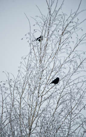 Two black birds sittinf on a tree covered with snow and frost