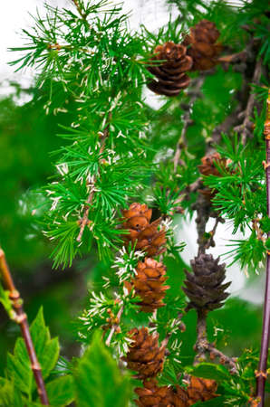 little pine cones on green wet branch