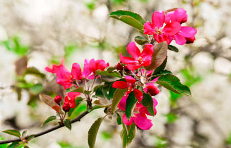 Pink flowers on branch of Apple tree in spring Фото со стока