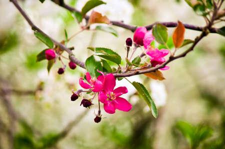 pink blossoms of cherry tree macro photo Фото со стока