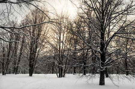 Winter forest covered in snow in the morning, Russia Фото со стока