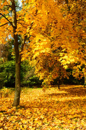 Beautiful autumn landscape with yellow trees and sun. Colorful foliage in the park.