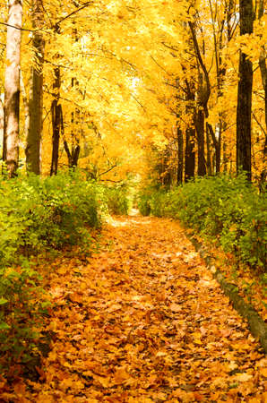 Golden alley in autumn park with green bushes