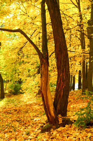 tree with golden leaves in autumn forest Фото со стока