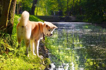 Shiba inu dog chilling near river at warm sunny day