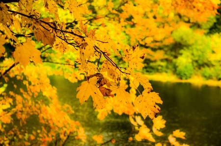 Yellow leaves in golden autumn forest, Russia