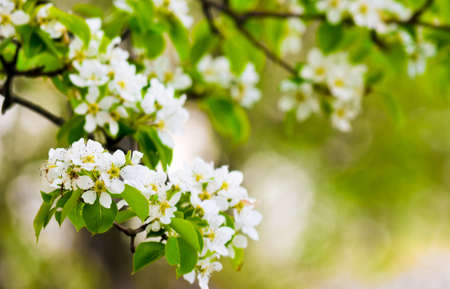 Springtime flowers on the branches of a tree