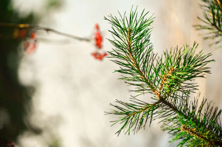 Christmas evergreen tree in the forest with blur background