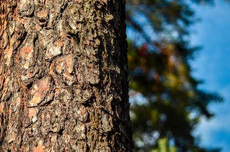 Bark of Pine Tree with blurred forest on the bachground