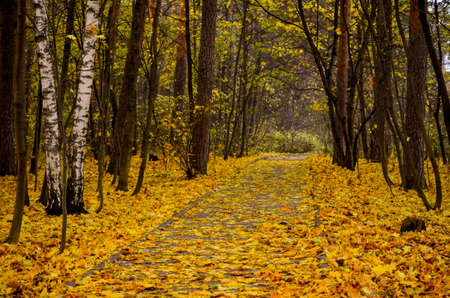 beautiful romantic birch alley in an autumn forest Фото со стока