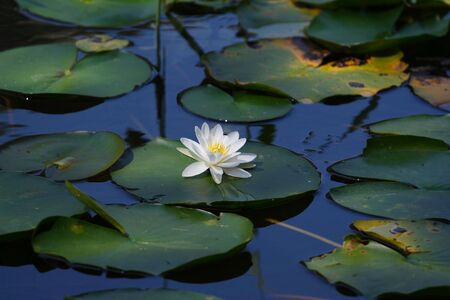 lirio acuatico: lirio de agua blanca  Foto de archivo