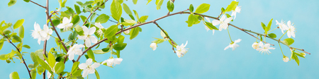 Cherry branch with fresh young leaves and flowers. Grey stone background. Copy space Stock Photo