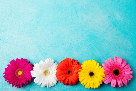 Colorful gerbera flowers on blue stone background. Top view. Copy space