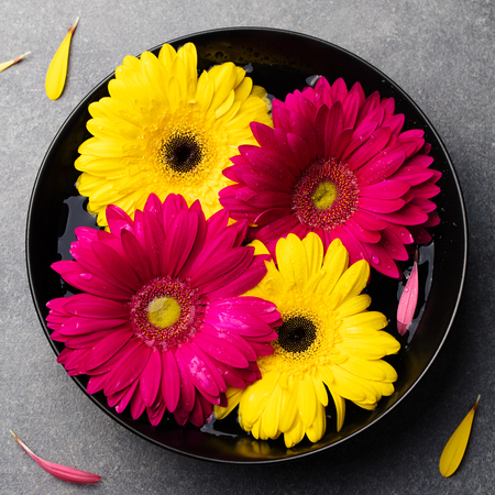 Colorful gerbera flowers floating in a black bowl. Grey stone background. Top view. Copy space. Stock Photo