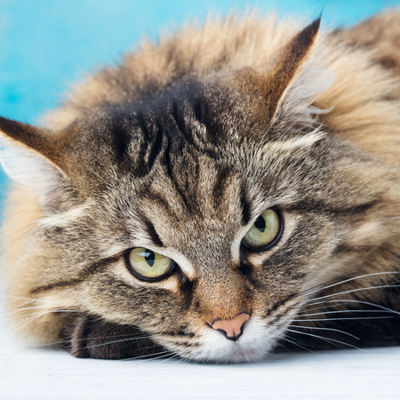 Siberian long haired cat close up. Blue background. Close up Stock Photo