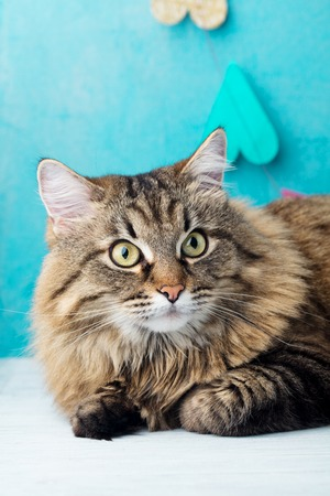 Siberian long haired cat. Blue romantic background. Close up.