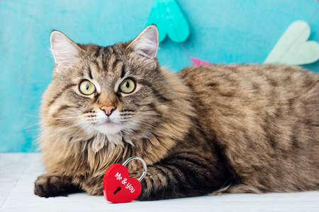 Siberian long haired cat with heart shaped padlock. Blue romantic background.