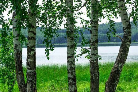 Some birches near the lake
