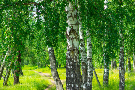 thea: Birch and a path going off into the distance