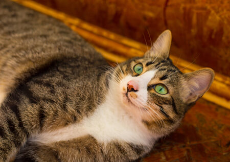 grey eyed: The cat stares at the frame Stock Photo