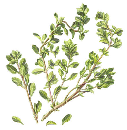 marjoram: Marjoram Pencil Drawing Isolated on White Stock Photo