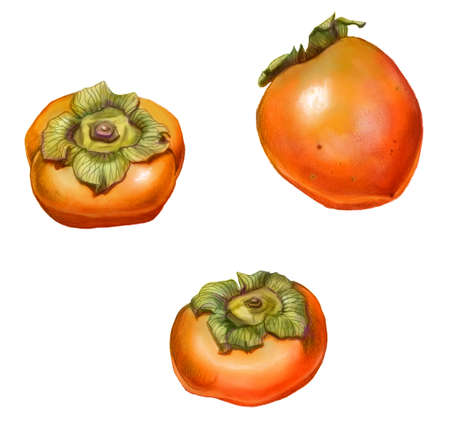 persimmon: Persimmon Pencil Drawing Isolated on White