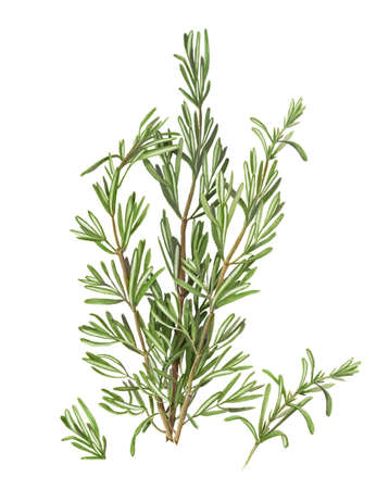pencil drawing: Rosemary Pencil Drawing Isolated on White