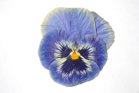 Beautiful dried blue pansy flower.