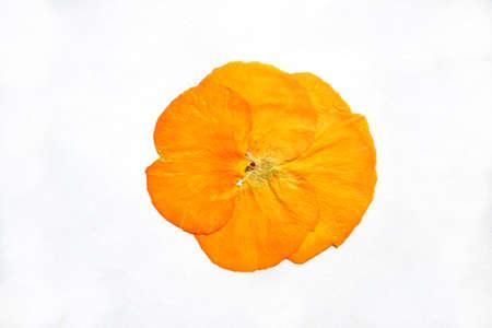 Beautiful dried yellow pansy flower. Reklamní fotografie
