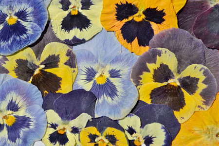 Beautiful dried colorful pansies flower.
