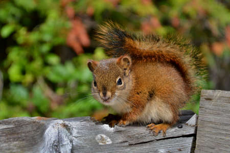 Cute little squirrel with fluffy tail sitting on wooden fence, green background. Picture taken in Rocky Mountains in Canada.