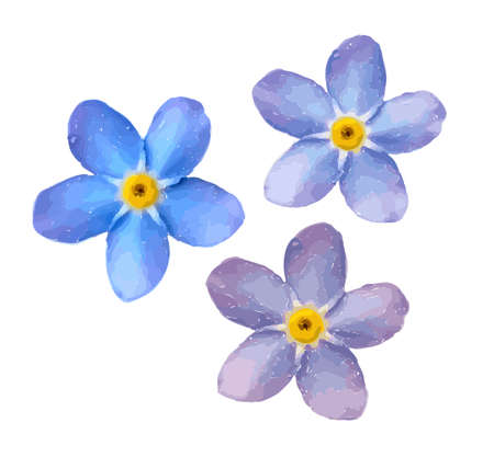 Forget me not flower isolated on white background. Blue and pink bloom. Vector Illustration Keywords: