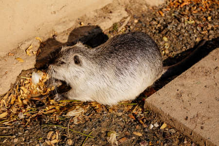 Close up portrait of coypu, River rat, Nutria or Myocastor coypus, white fur, on the banks of the river and sitting while at the weir, Rodent or swamp beaver, Prague, Czech republic
