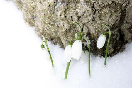 Several tender spring snowdrops of Galanthus nivalis in the snow in the forest