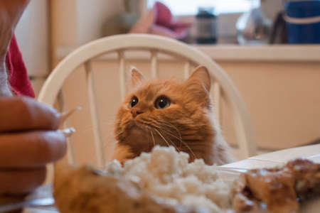 A red cat hypnotizes his master to get a piece of fried chicken