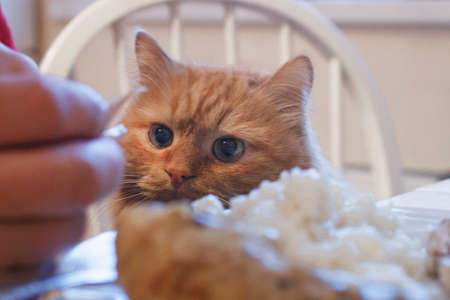A funny red cat hunts for a piece of chicken from a festive table Stock Photo