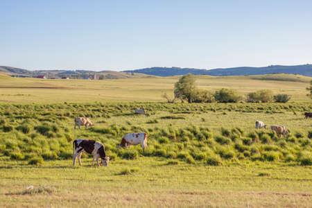 Weide für Kühe. Grüne Wiesen und Hügel mit Wiesengras