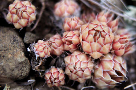 Sempervivum globiferum inflorescences. Highland landscape. Useful and beautiful plants and flowers