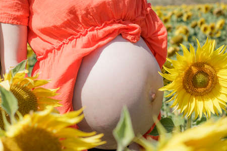 Big belly of a pregnant woman among a field of sunflowers Stock Photo