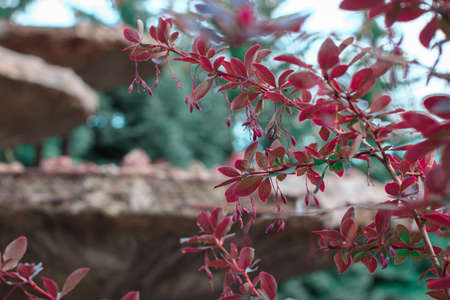 shrub red barberry against the background of a stone bowl of the city fountain.